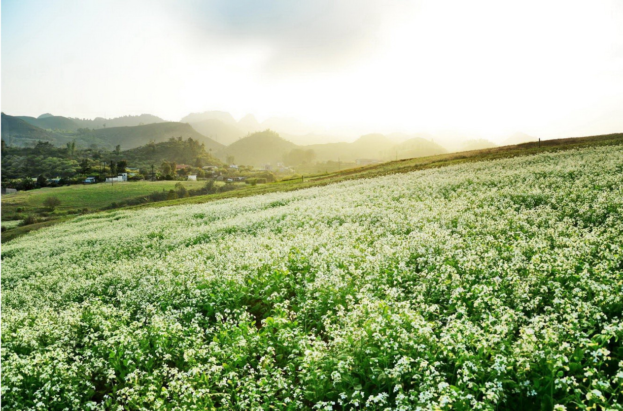 ngắm mùa hoa cải trắng dịp tết tại mộc châu